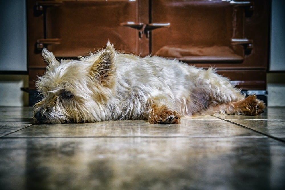 close photography of dog lying on floor